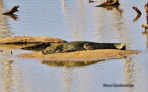 Crocodile- Koma Wewa- Yala