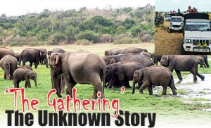 Elephants at Minneriya