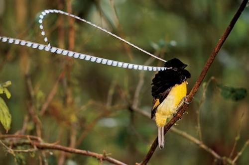 King of Saxony Bird-of-Paradise++