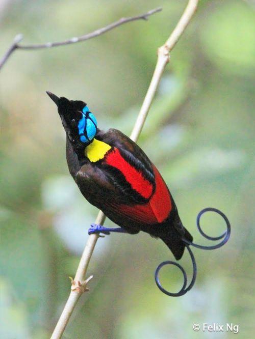 Wilson's Bird-of-Paradise++