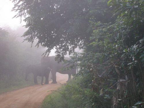 Wasgamuwa_elephant