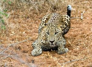 leopard 1_1