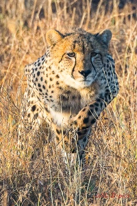 030616africa2016stalking-leopard-copy