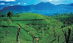 tea-scenery